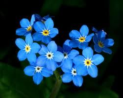 Forget-Me-Nots - Flower